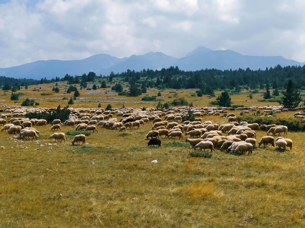 Schafsherde auf einer Weide in Bosnien
